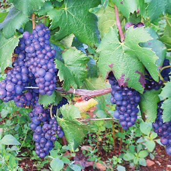 Grape Vines in Burgundy France